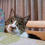 ぷっちょ(日本猫)
