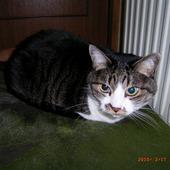 シェリー(日本猫)